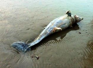 Thêm một xác Bò biển được phát hiện