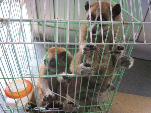Giải cứu 3 cá thể cu li và 1 cá thể gấu