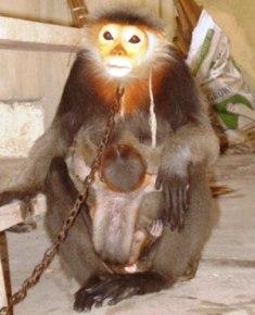 VQG Cúc Phương tiếp nhận 2 mẹ con voọc quý hiếm