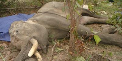Lâm Đồng: Voi Đà Lạt bị giết trong Khu du lịch hồ Tuyền Lâm