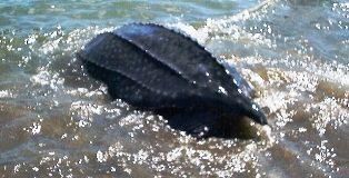 Rùa quý đã được thả về biển