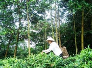 Hà Giang: Hiệu quả từ mô hình trồng rừng kinh tế