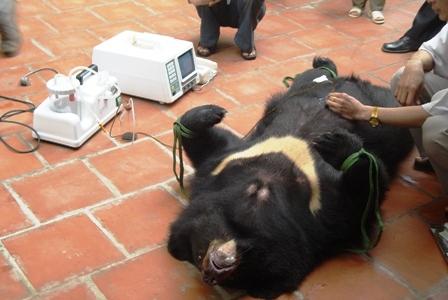 Mật gấu không có tác dụng chữa bệnh