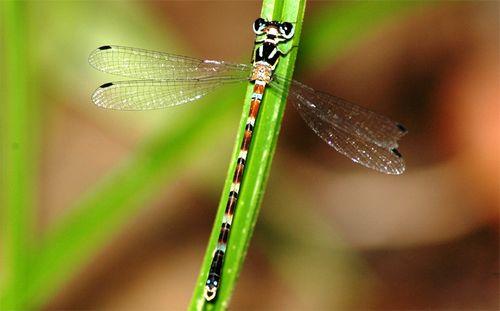 Ghi nhận mới về vùng phân bố của loài chuồn chuồn kim quý hiếm