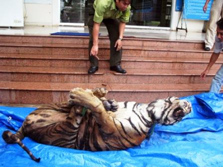 Xác hổ nặng 156,5 kg được bàn giao cho Bảo tàng Bình Dương