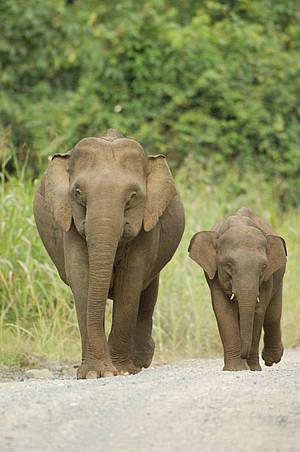 Tin vui cho đười ươi và voi lùn Borneo