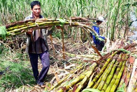 Phú Yên: Dân ham tìm trầm, mía bị bỏ mặc