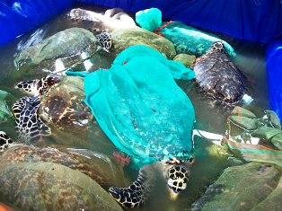 Ninh Thuận thả 12 con đồi mồi về biển