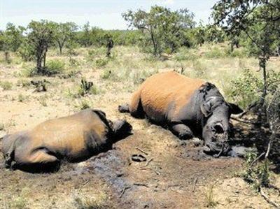 Nam Phi: Tê giác bị săn trộm năm 2011 có thể vượt kỷ lục