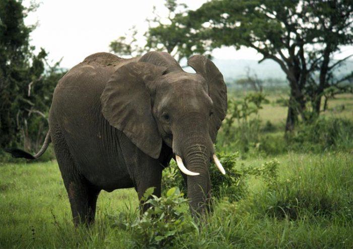 Tìm giải pháp ngăn chặn nạn săn trộm voi, tê giác