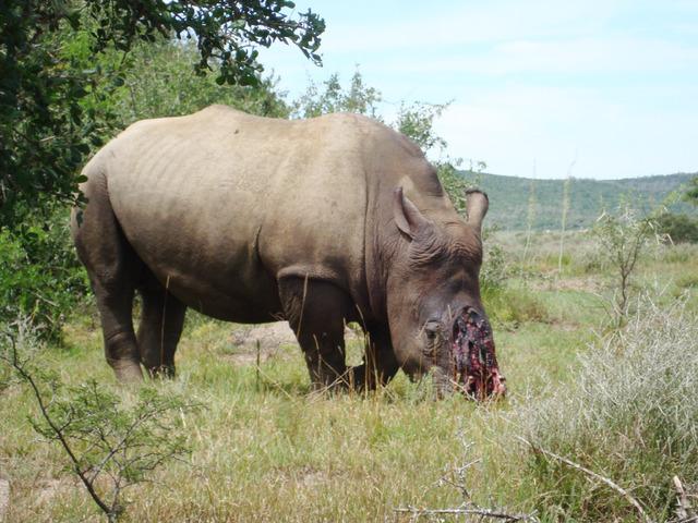 Châu Á cần phối hợp chặt chẽ với Châu Phi để bảo vệ loài tê giác