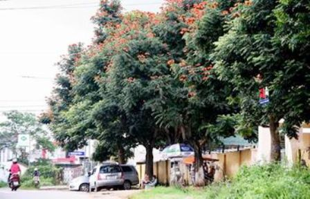 Lâm Đồng: Hạn chế phát triển cây Sò đo cam