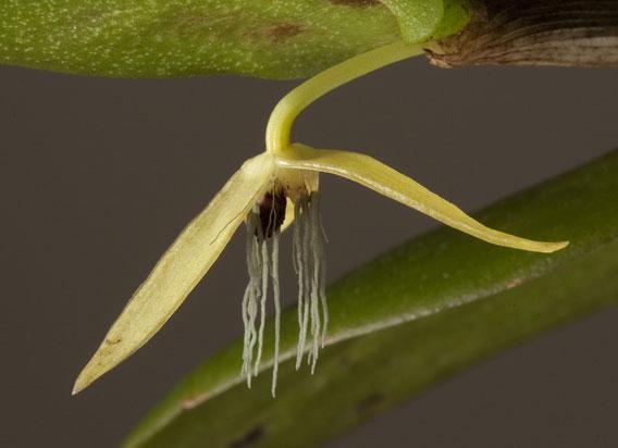 Loài phong lan mới chỉ nở một đêm