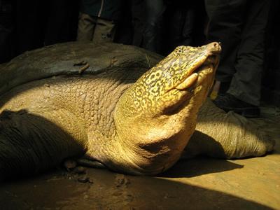 Nếu không giúp được loài rùa Hoàn Kiếm sinh sản, mọi nỗ lực bảo tồn sẽ vô hiệu