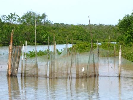Phát triển bền vững mô hình rừng – tôm tại ĐBSCL