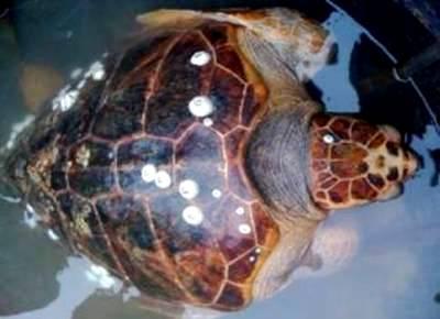 Ngư dân Thừa Thiên – Huế thả Rùa Quản Đồng về đại dương