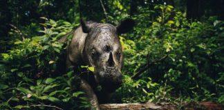 Tê giác một sừng ở Sumatra (Indonesia). Nguồn: GoodPlanet.org.