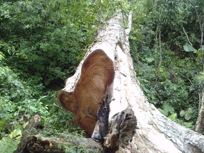 Tàn sát rừng nghiến ở Hà Giang (Kỳ cuối)