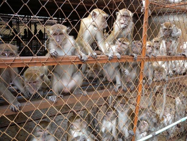 Cảnh báo nguy cơ gia tăng tại các trang trại khỉ ở Lào