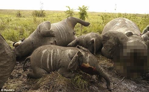Voi bị thảm sát ở Congo