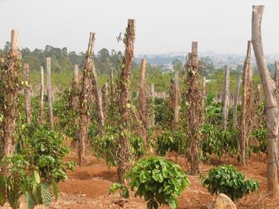 Tây Nguyên: Dân lấn rừng trồng tiêu, sắn