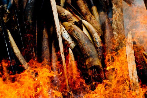 Tổng thống Gabon trực tiếp thiêu hủy 5 tấn ngà voi trái phép