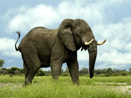 CITES tiếp nối những nỗ lực bảo tồn voi và tê giác