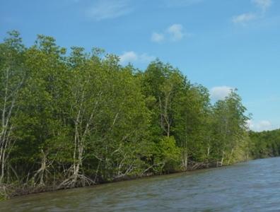 Rừng ngập mặn ven biển ĐBSCL đang suy giảm mạnh