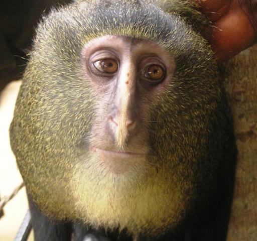 Phát hiện loài khỉ mới ở Công-gô