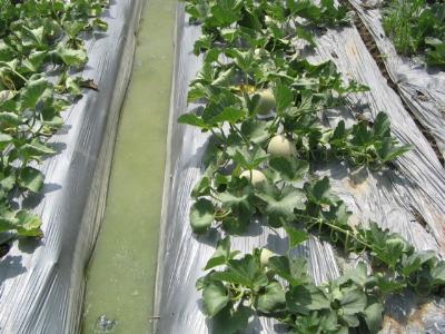 Màng phủ trong nông nghiệp mang lại nhiều lợi ích