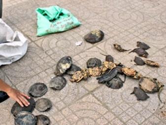 VQG Pù Mát tiếp nhận 23 cá thể rùa quý