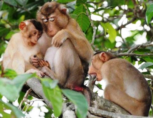 Du khách Đức giúp giải cứu ba cá thể khỉ đuôi lợn