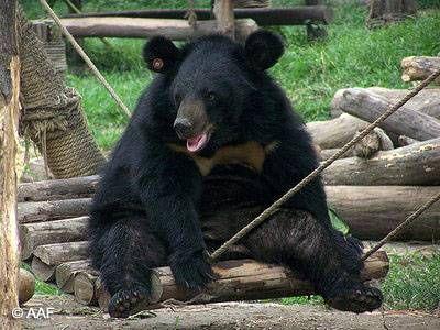 Gấu tại Trung tâm cứu hộ Gấu Tam Đảo (Ảnh: AAF)