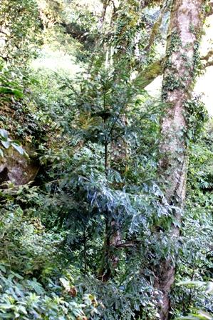 Sapling of Amentotaxus argoteania