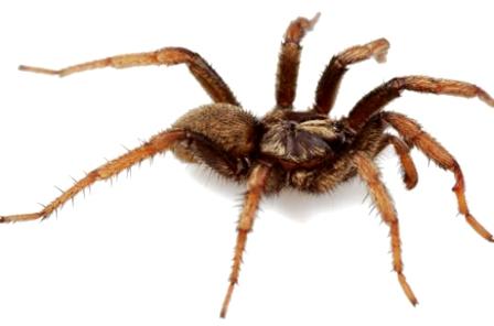 Một con nhện Aptostichus barackobamai đự ( Ảnh: Jason Bond)