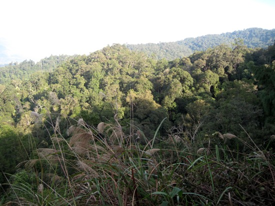 Habitat of new pine