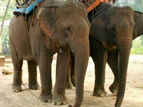 Theo đánh giá của các chuyên gia, nguyên nhân dẫn tới sự suy giảm của đàn voi nhà là tình trạng khai thác sức voi quá mức; thiếu kinh nghiệm chăm sóc dinh dưỡng và sinh sản cho voi (Ảnh: Hải Nam)