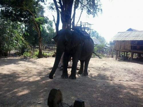 ể có thể bảo tồn và phát triển bền vững đàn voi nhà cần có giải pháp thích hợp giữa khai thác du lịch và chăm sóc sức khỏe hợp lý cho voi (Ảnh: Ngọc Hà)