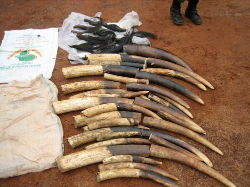 Kenya bắt nghi can người Việt buôn lậu ngà voi