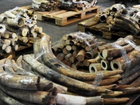 Hong Kong thu giữ 113 chiếc ngà voi từ châu Phi