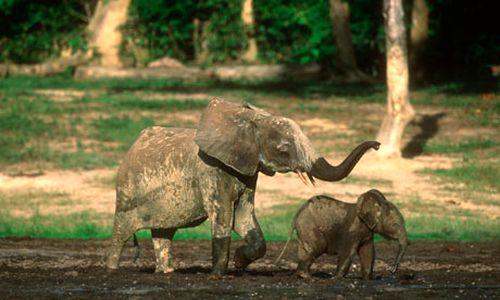 Voi rừng châu Phi tới khu đất trống Dzanga Bai hàng ngày để uống nước (Ảnh: Corbis)