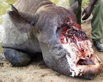 Hàng trăm cá thể tê giác bị săn trộm/năm ở Nam Phi (Ảnh: dailymail.co.uk)