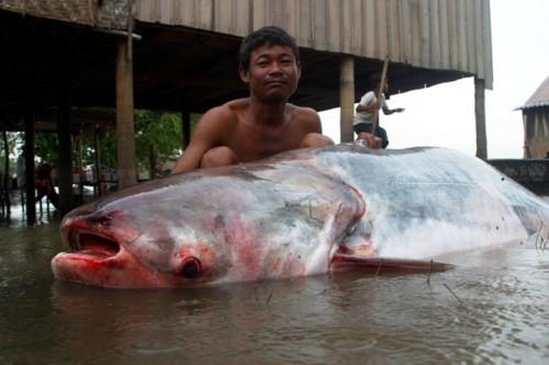 Cá tra dầu trên sông Mê Kông (Ảnh: WWF)