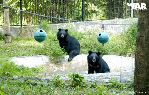 Hai cá thể gấu ngựa tại Trạm cứu hộ động vật hoang dã Hòn Me (Ảnh: WAR)