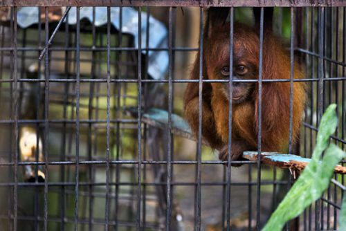Caged orangutan at Limbat's 'zoo' in Kadang, Aceh on the island of Sumatra. Photo by Paul Hilton