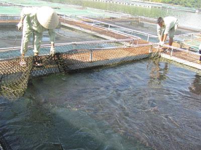 Các doanh nghiệp ươm nuôi cá tầm trong nước đang có nguy cơ phá sản vì cá tầm lậu tràn vào.