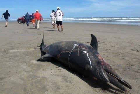 Cá heo chết hàng loạt dọc bờ biển các bang của Mỹ - ThienNhien.Net | Con  người và Thiên nhiên