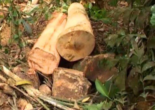 Những khúc gỗ đã được cưa nhỏ nằm ngổn ngang bên sườn đồi (Ảnh: Minh Ngọc/Báo Giáo dục & Thời đại)