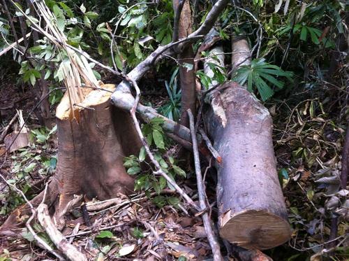 Những cây gỗ bị đốn hạ được xác định là các loại cây gỗ bạn, dẻ (Ảnh: Minh Ngọc/Báo Giáo dục & Thời đại)