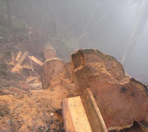 Khu vực giáp ranh của rừng đặc dụng Tà Xùa bị tàn phá nặng nhất